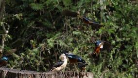 Birds at the Feeder, Superb Starling, Red-billed Hornbill, African Grey Hornbill, Group in flight, Tsavo Park in Kenya,. Slow Motion stock video