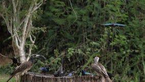 Birds at the Feeder, Superb Starling, Red-billed Hornbill, African Grey Hornbill, Group in flight, Tsavo Park in Kenya. Slow Motion stock video