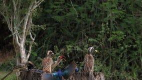 Birds at the Feeder, Superb Starling, Red-billed Hornbill, African Grey Hornbill, Group in flight, Tsavo Park in Kenya,. Slow Motion stock footage