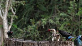 Birds at the Feeder, Superb Starling, Red-billed Hornbill, Group in flight, Tsavo Park in Kenya. Slow Motion stock video footage