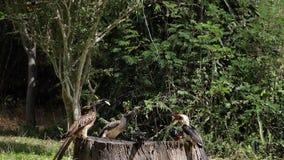 Birds at the Feeder, Superb Starling, Von der Decken's Hornbill, African Grey Hornbill, Group in flight, Tsavo Park in Kenya,. Slow Motion stock video footage