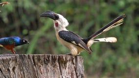 Birds at the Feeder, superb Starling, Von der Decken`s Hornbill, Red-billed Hornbill, Group in flight, Tsavo Park in Kenya