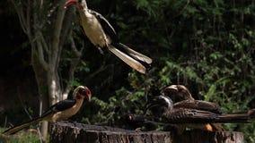 Birds at the Feeder, Von der Decken`s Hornbill, African Grey Hornbill, Red-billed Hornbill, Group in flight, Tsavo Park in Kenya,. Slow Motion stock video