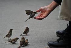 Birds Feeding royalty free stock images