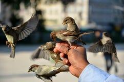 Birds are feeding. On man´s hand Royalty Free Stock Image