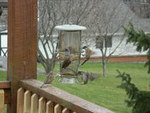 Birds feeding. I found these birds eating out of my bird feeder on my deck Stock Photos
