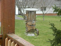 Birds feeding. I found these birds eating out of my bird feeder on my deck Royalty Free Stock Images