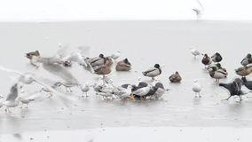 Birds feeding on ice in winter stock footage