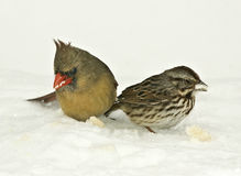 Birds Feeding in Snow-storm Stock Photo