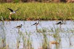 Birds feeding in swamp. Group of black-tilt birds are feeding in swamp on blurry background with sunlight Stock Photography