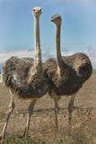 Birds Female Ostrich in camp against fence. Grey female Ostriches standing against fence in camp looking curious with grey, black and brown feathers blowing in Royalty Free Stock Photo