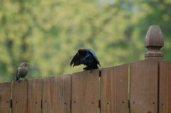 Birds on fence. Two brown-headed cowbirds perched on wooden fence.  Species:  Molothrus ater Stock Photo