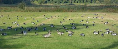 Birds on a field Royalty Free Stock Photography