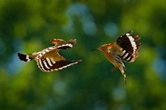 Free Birds Fight Fly, Hoopoe, Upupa Epops, Nice Orange Bird With In The Green Forest Habitat, Bulgaria. Beautiful Bird In The Nature, Royalty Free Stock Photography - 150418417