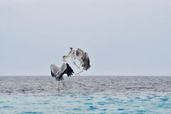 Birds fight in midair. Image of two grey-heron(Ardea cinerea) birds fighting in midair over the ocean on a rainy gloomy day in Maldives Royalty Free Stock Photo