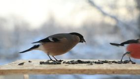 Birds fight for seeds in a bird feeder in winter close-up. Slow motion video.  stock video footage