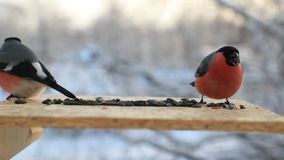 Birds fight for seeds in a bird feeder in winter close-up. Slow motion video.  stock video