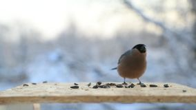 Birds fight for seeds in a bird feeder in winter close-up. Slow motion video.  stock footage