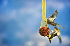 Birds fighting for food. Two birds fighting for food stock photography