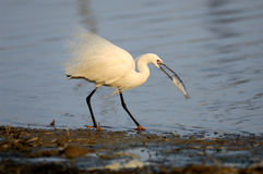 Birds and fish Royalty Free Stock Images