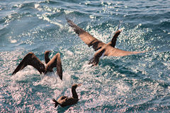 Birds fishing and flying. Birds fighting for a fish Royalty Free Stock Photography
