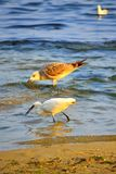 Birds fishing in the sea. White heron grabbing a small fish in the sea by the shore and gull drinking water nearby,Varna Black Sea Coast Bulgaria Royalty Free Stock Image