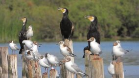 Birds on fishing wooden poles stakes near the sea. Cormorant and black-headed gull. Crowded flock of birds resting. Beaks open. The summer adult has a stock video footage