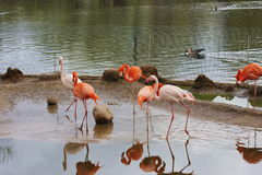 Birds of flamingo are in the pond. Of the Moscow zoo, Russia Stock Photo