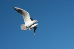 Birds flies. In the natural environment stock photography
