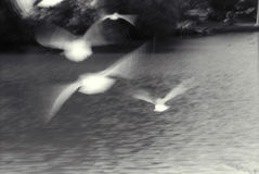 Birds in flight. White birds in flight black & white Royalty Free Stock Photo