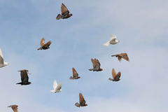 Birds in flight. Pigeons and white doves in flight, blue sky background stock photos