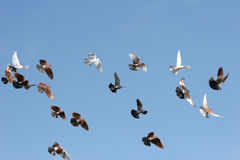 Birds in flight. Pigeons and white doves flying, blue sky background stock photos