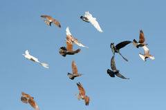 Birds in flight. Pigeons and white doves flying, blue sky background royalty free stock photo