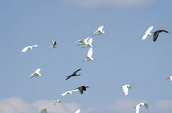 Birds in flight. Egrets and Glossy Ibis in flight Stock Image