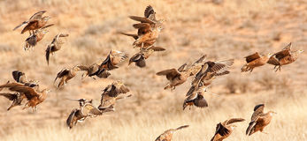 Birds in flight. Sand grouse taking to the air in the Kalahari Stock Photos