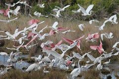Birds in flight. Wood Storks (Mycteria americana), Roseate Spoonbills (Platalea ajaja), Great Egrets (Ardea alba), and Snowy Egrets (Egretta thula) congregating Royalty Free Stock Images