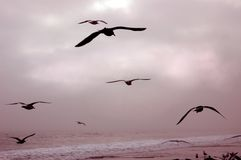 Birds in Flight. Seagulls flying over the surf Royalty Free Stock Photos