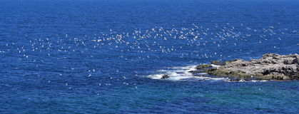 Birds in Flight at Cape Norman Royalty Free Stock Images