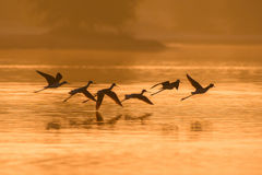 Birds in Flight. Birds enjoying morning light Stock Image