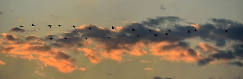 Birds in flight. A flock of cranes flies at sunset. Grey bird with long neck. Sunset sky with clouds background. Common Crane, G stock images