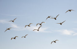 Birds in flight Stock Image