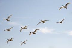 Birds in flight. A flock of swans in flight against a blue sky stock image