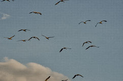 Birds. The flight of large birds on the background of clouds and beautiful sky Royalty Free Stock Photos