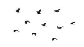 Birds in flight royalty free stock photo