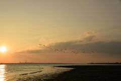 Birds in flight at sunset. A large group of ducks in flight at sunset flying over the sea Stock Photos