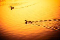 Birds floating on the lake, ducks at sunset. In the park Royalty Free Stock Photography