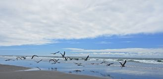 Birds. Flock of birds flying along the Oregon coast Stock Images