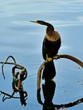 Anhinga.On the Florida Lake. stock photography