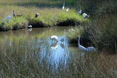 Birds in the Florida wetlands Stock Photography