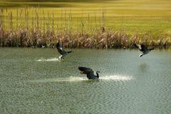 Birds fly over the golf course stock photo